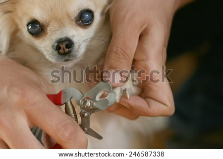 Clipping a dog's claws concept, man's hand holding clippers