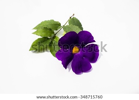 Clitoria ternatea isolated on white background.