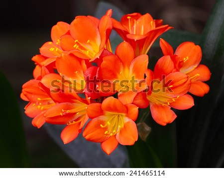 Clivia Flowers Blooming  - stock photo