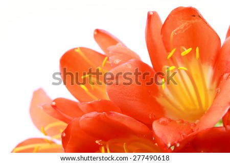 Clivia flowers with water drops closeup isolated on white background