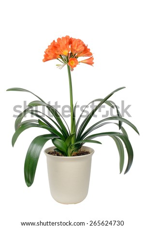 clivia miniata pot and flowers in full bloom, isolated on white. It sometimes called as Natal lily, Bush Iliy, Kaffir lily. - stock photo