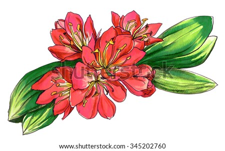 Clivia miniata. Red tropical flower for wedding printing products: cards, invitations, menu, gift. Hand drawn watercolor flower isolated on white background. Botanical illustration.  - stock photo