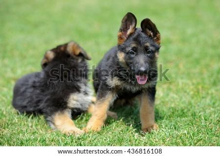 Close baby German Shepherd in green summer grass - stock photo