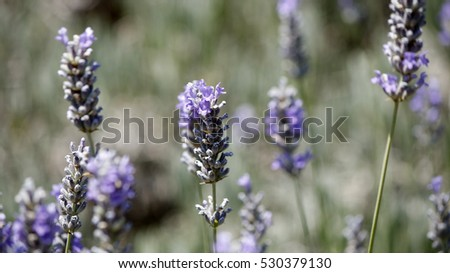 Close details of a lavender plant flower