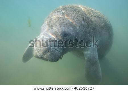 Close Encounter with a curious Manatee