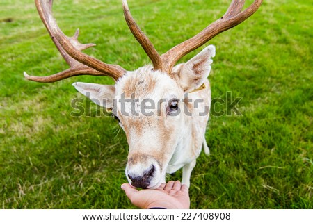 close encounter with a deer - stock photo