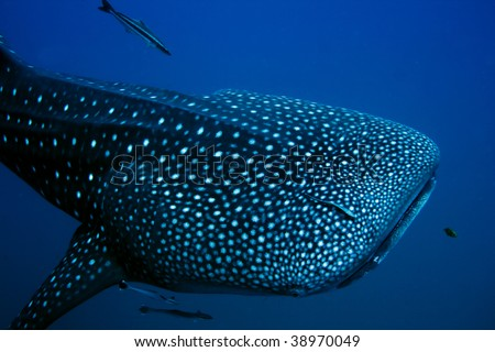 Close encounter with a giant Whale Shark - stock photo