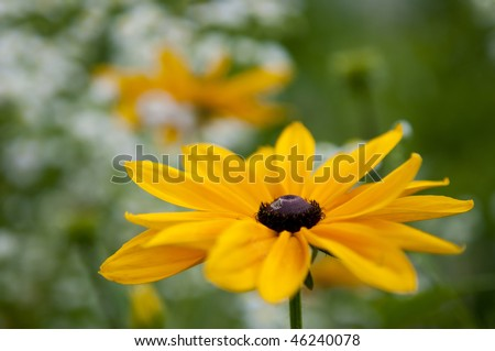 Close focus shot of two Black-eyed Susans (summer flowers)