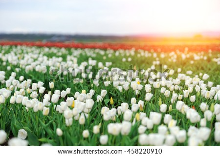 Close fresh white tulip in field. Tulips in spring time
