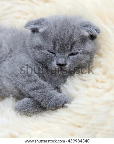 Close funny little gray kitten sleep on white blanket - stock photo
