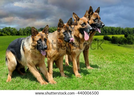 Close German Shepherd dog in green summer grass - stock photo