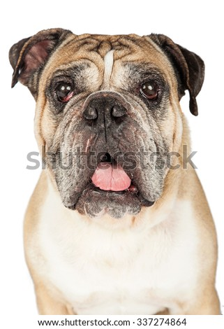 Close image of the face of a handsome adult English Bulldog breed dog