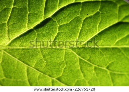 close look at the vein of a leaf - stock photo