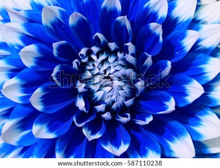 Close of blue and white dahlia flower
