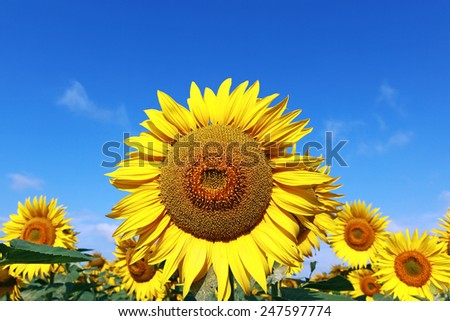 close of sunflower against a blue sky - stock photo
