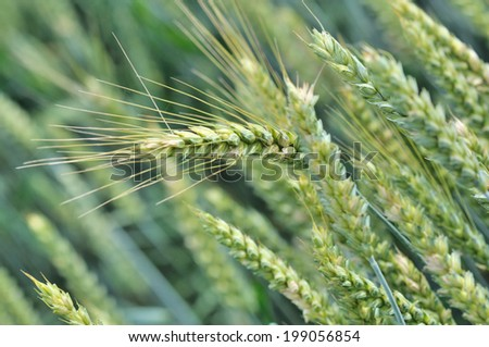 close on a ripening barley ear in a field  - stock photo