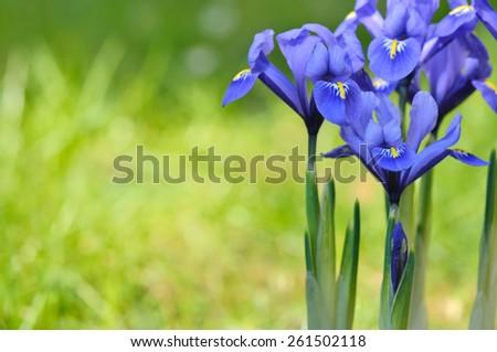 close on beautiful blue iris on green background  - stock photo