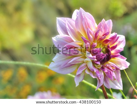 close on beautiful dahlias blooming on green background - stock photo