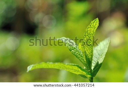 close on green leave of mint in a garden  - stock photo