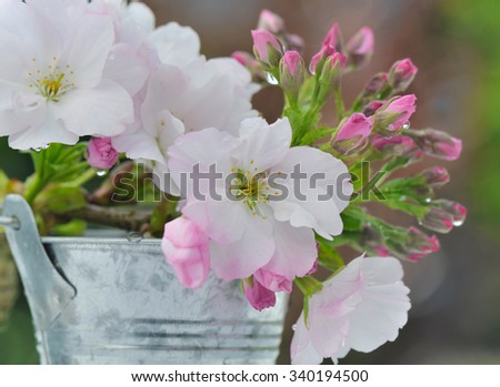 close on pretty cherry tree flowers in metal pot   - stock photo