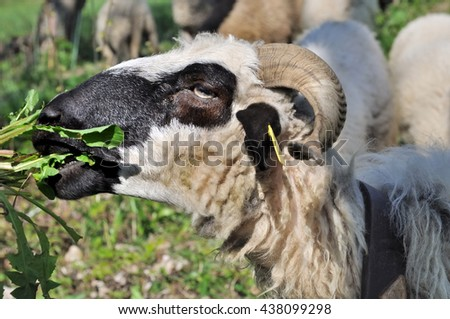 close on sheep grazing grass  - stock photo