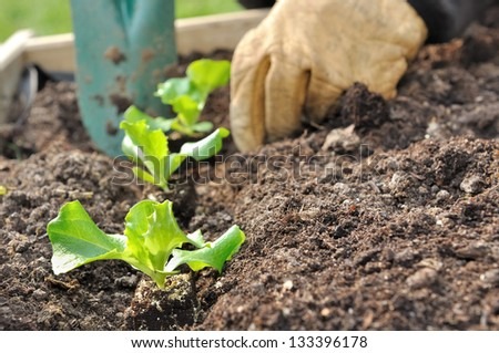 close on the hands of a man planting seedlings salad in a vegetable garden - stock photo