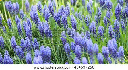close photo of bunch of blooming grape hyacinths - stock photo