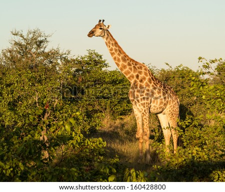Close photo of tall African giraffe looking down at the camera from munching at leaves in the trees - stock photo