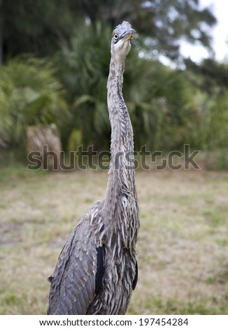 Close portrait of a Great blue heron - stock photo