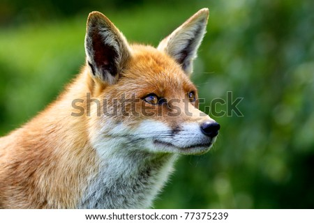 Close portrait of a Red Fox - stock photo
