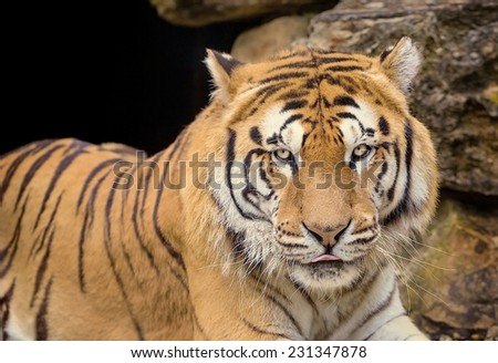 Close portrait of a tiger sitting in serenity.  - stock photo