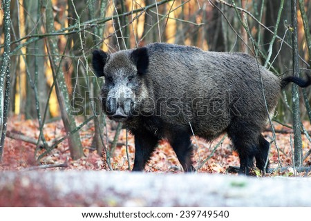 Close portrait of a wild boar in the forest  - stock photo