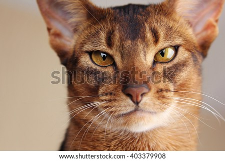 Close portrait of abyssinian cat, serious look - stock photo