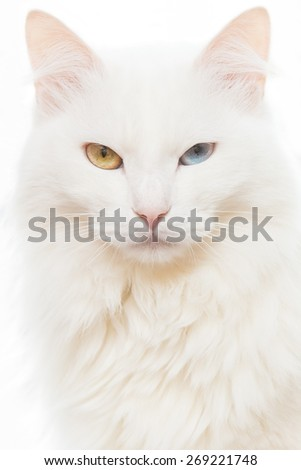 Close portrait of an evil cat with different colored eyes on a white background