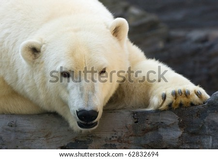 close portrait of male polar bear face