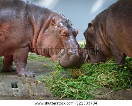 Close portrait of two hippos eating grass in a zoo