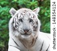 Close portrait of white tiger in the wild - stock photo