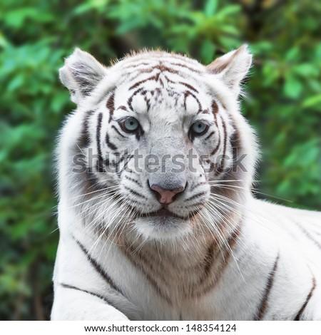 Close portrait of white tiger in the wild - stock photo