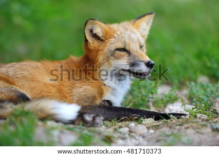 Close portrait red fox in nature (Vulpes vulpes)