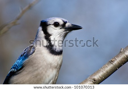 Close Profile of a Blue Jay