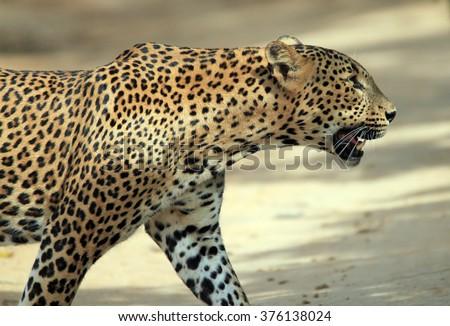 Close Profile View of a Sri Lankan Leopard (Panthera Pardus Kotiya) Crossing a Sandy Road, Yala, Sri Lanka - stock photo