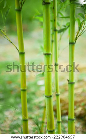 Close shot of a bamboo tree in an Asian Chinese garden.