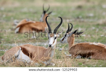 Close shot of a Springbok antelopes (Antidorcas marsupialis) lying in grass. Etosha national park. Namibia. - stock photo