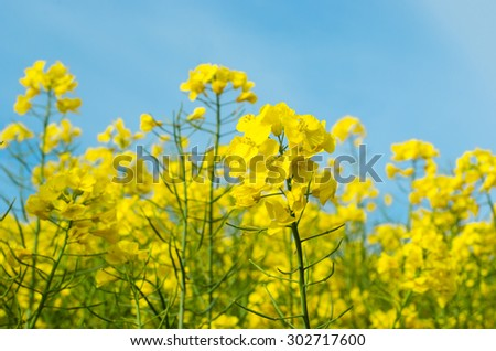 Close shot of the yellow blossoms of a field of rape plants shot on a sunny Spring day against a lightly clouded blue sky. - stock photo