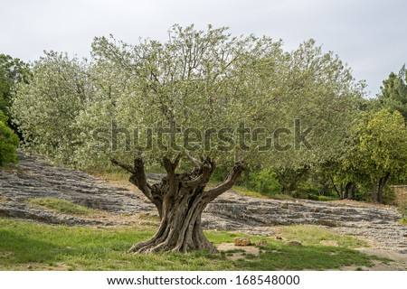 Close to one of the oldest olive trees in South France - stock photo