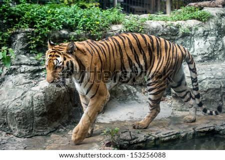 Close up a Bengal Tiger - stock photo