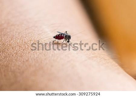 Close up a Mosquito sucking human blood.Mosquito carries the pathogen causing Dengue Hemorrhagic Fever. - stock photo