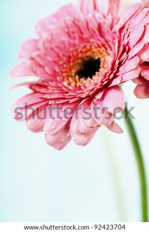 Close up abstract of colorful pink daisy gerbera flower - stock photo