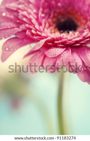 Close up abstract of colorful pink daisy gerbera flowers - stock photo