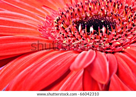 Close up abstract of one red daisy gerbera
